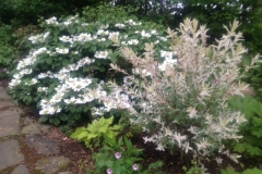 viburnum willow